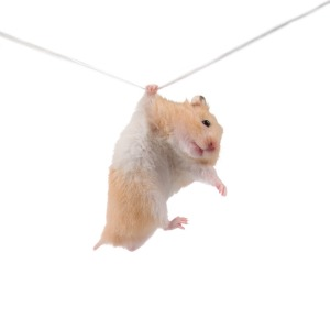 Hamster hangs on a rope