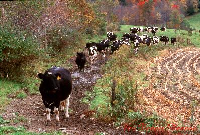 cowpath