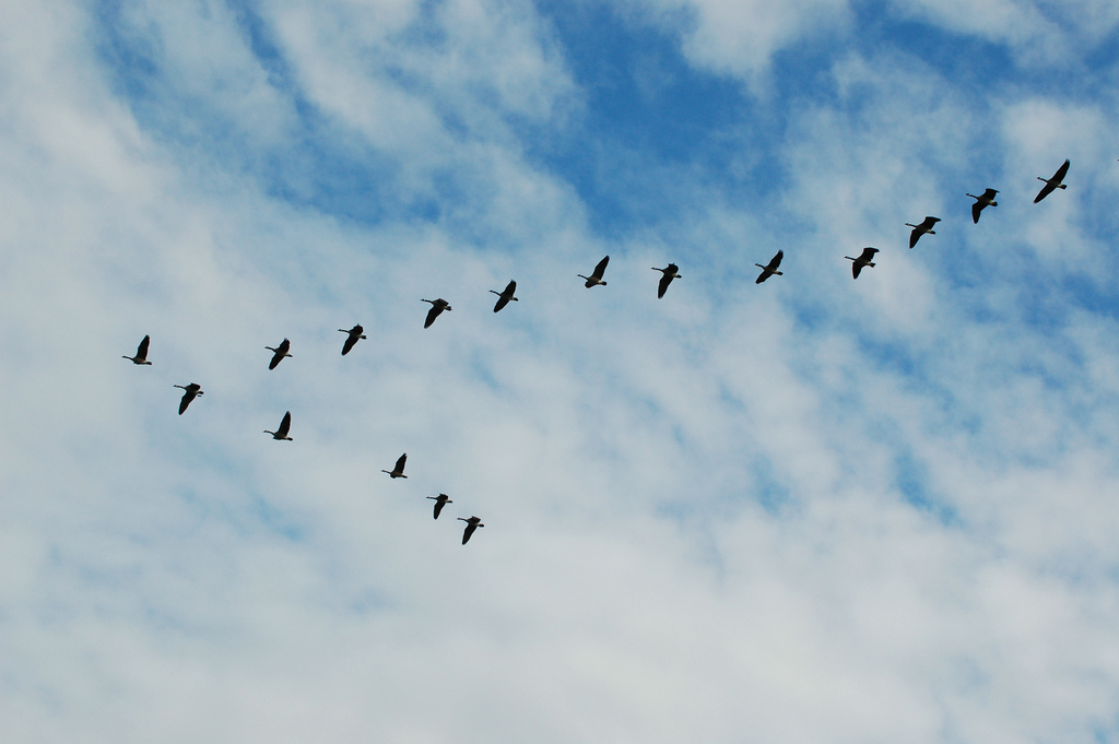 geese_0