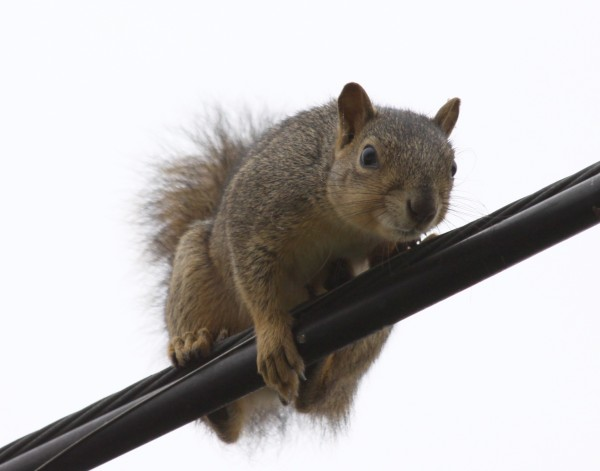 squirrel_on_a_wire