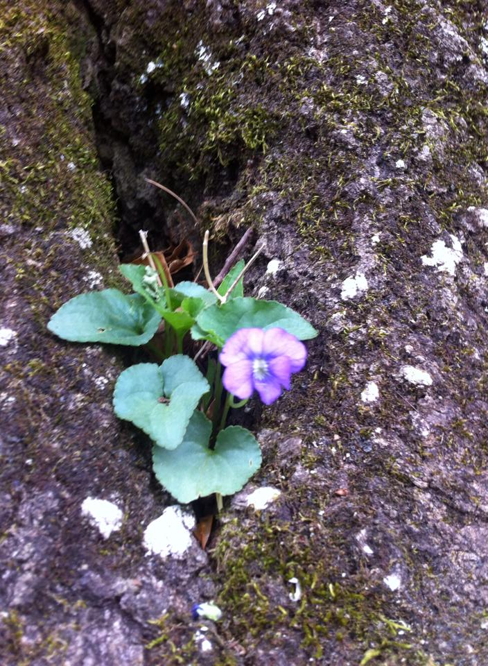 violet in crevice of rock