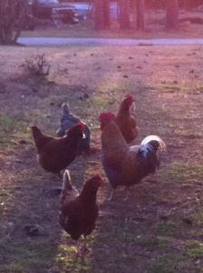 chickens morning light