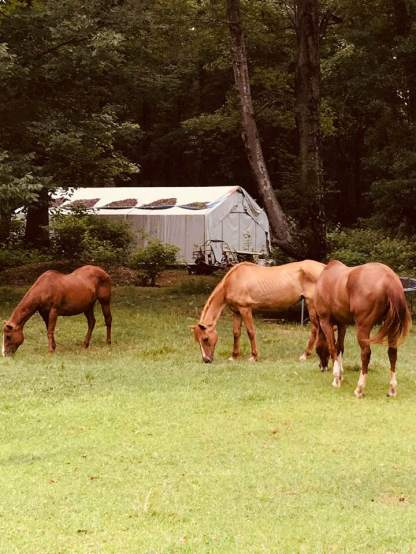 horses in back grazing
