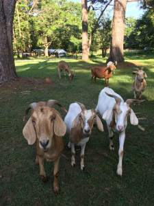 welcome home goats