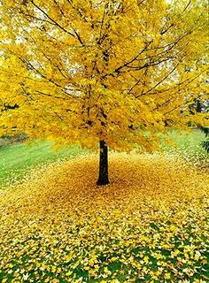 yellow ginkgo tree