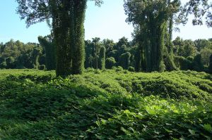 kudzu field huff post