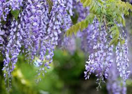 Image result for wisteria images